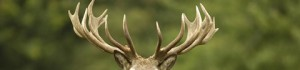 cropped-red-deer-woburn-abbey-01525290333-copyright-remains-with-his-grace-the-duke-of-bedford-and-the-trustees-of-the-bedford-estates_16-9-1.jpg