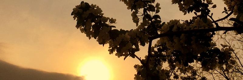 Kirschblueten Heerstr Sonne klein